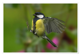 Poster Great Tit in landing approach