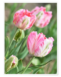 Poster Tulipes roses