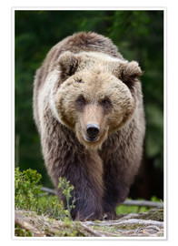Poster  Brown bear in focus