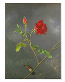 Poster  Colibri sur un rosier - Martin Johnson Heade