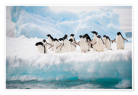 Poster  Adelie penguins on ice