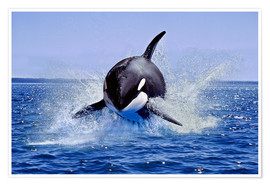 Poster  Killer Whale, leaping, Canada - Gérard Lacz