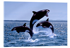 Verre acrylique  Killer Whales, adults and young leaing, Canada - Gérard Lacz