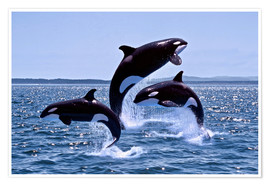Gérard Lacz - Killer Whales, adults and young leaing, Canada