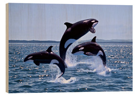 Bois  Killer Whales, adults and young leaing, Canada - Gérard Lacz