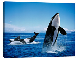 Toile  Killer Whales, breatching - Gérard Lacz