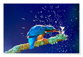 Poster  Common Kingfisher stunning fish against branch - FLPA