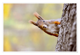 Poster  Red Squirrel in an urban park in autumne - imageBROKER