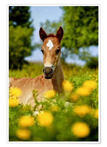 Poster Pinto, foal