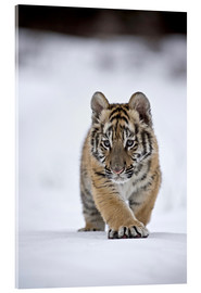 Verre acrylique  Siberian Tiger cub, walking on snow - FLPA