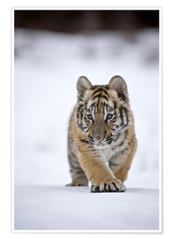 Poster  Siberian Tiger cub, walking on snow - FLPA