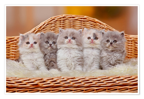 Poster Five British Longhair kittens
