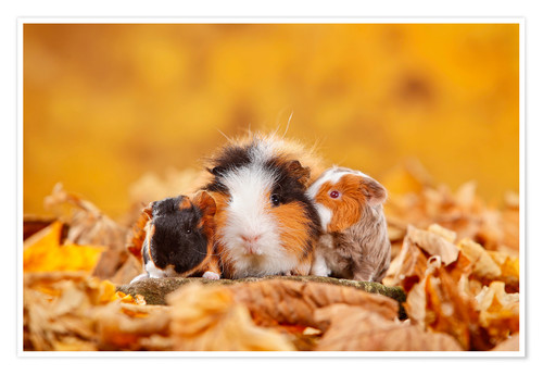Poster Swiss Teddy Guinea Pigs
