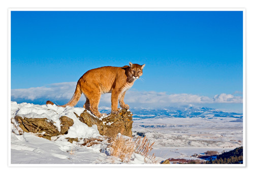 Poster Puma standing on rock in snow, Rocky Mountains