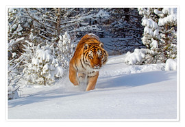 Poster Siberian Tiger walking in snow