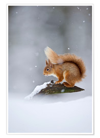 Poster  Eurasian Red Squirrel standing on branch in snow - FLPA