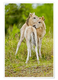 Poster Konik, wild horse, two foals playing