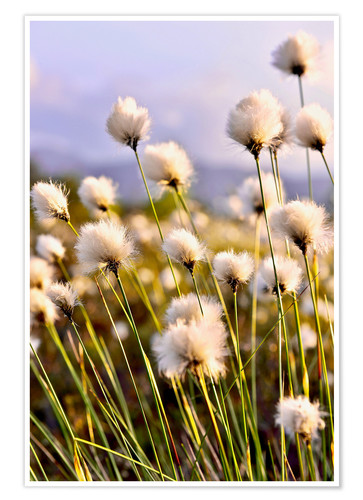 Poster Flowering Tussock Cottongrass