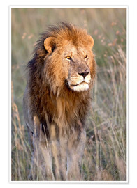 Poster Masai Lion standing in grassland at dawn