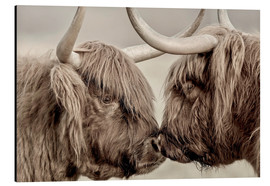 Tableau en aluminium  Vaches highlands se saluant