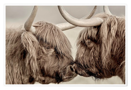 Poster  Highland Cattle, cows greeting each other - imageBROKER