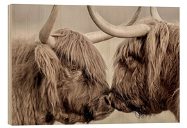 Bois  Highland Cattle, cows greeting each other - imageBROKER