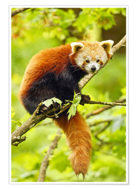 Poster  Red Panda sitting in tree