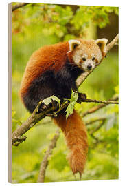 Bois  Red Panda sitting in tree - imageBROKER