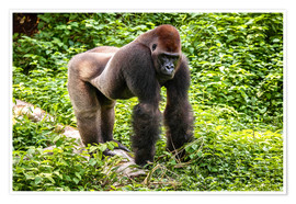 Poster  Western lowland gorilla, male in enclosure