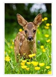 Poster  Roe Deer fawn in flower meadow, Normandy - Gérard Lacz