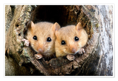 Poster Common Dormouse pair, Normandy