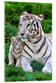 Verre acrylique  White Tiger, Mother with Cub - Gérard Lacz