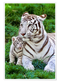 Poster  White Tiger, Mother with Cub - Gérard Lacz