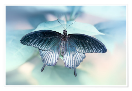Poster  swallowtail butterfly
