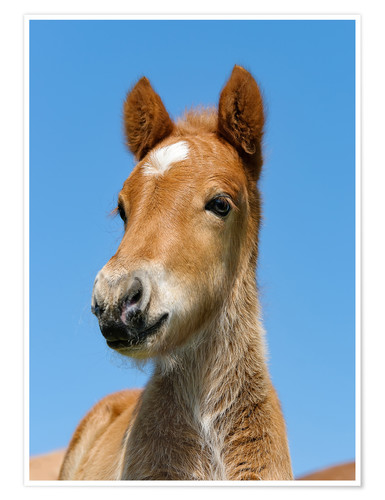 Poster Cute Pony foal portrait in front of blue sky