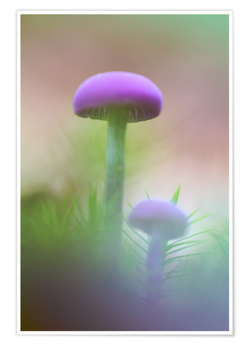 Poster Soft macro of two purple mushrooms