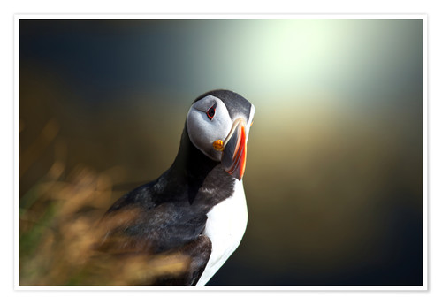 Poster puffin
