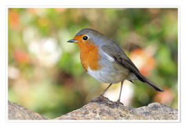 Poster  Cute robin