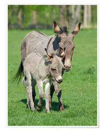 Poster  Donkey mum and her little baby