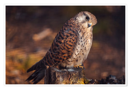 Poster  Sitting kestrel
