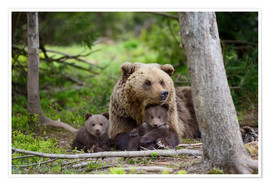Poster Brown bear with cubs in forest