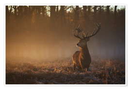Poster  Stag in autumn sunrise - Alex Saberi