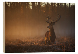 Bois  Stag in autumn sunrise - Alex Saberi