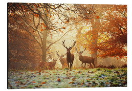 Alu-Dibond  Stags and deer in an autumn forest with mist - Alex Saberi