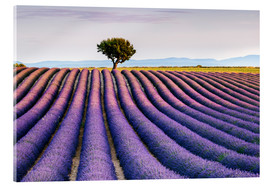 Verre acrylique  Lavender field and tree at sunset, Provence - Matteo Colombo
