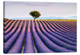Tableau sur toile  Lavender field and tree at sunset, Provence - Matteo Colombo