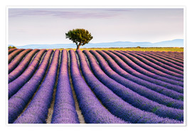 Poster  Lavender field and tree at sunset, Provence - Matteo Colombo