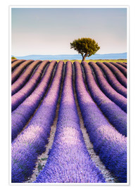 Poster  Tree in a lavender field, Provence - Matteo Colombo