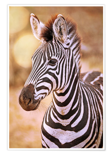 Poster Young Zebra, South Africa