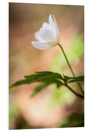 Tableau en PVC  Wood anemone - blooming with soft background - Mark Scheper